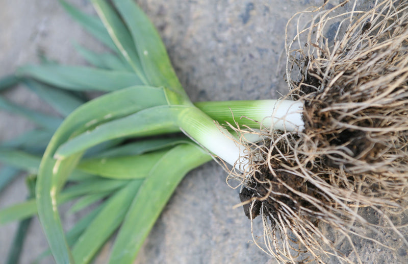 Haxnicks Gardening tips how to avoid and treat leek moth pests
