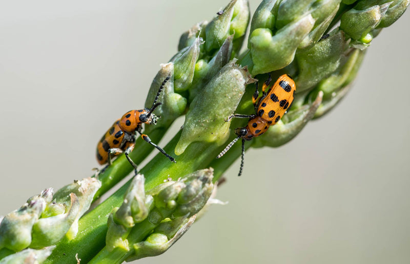 Haxnicks gardening advice pests how to deal with asparagus beetle