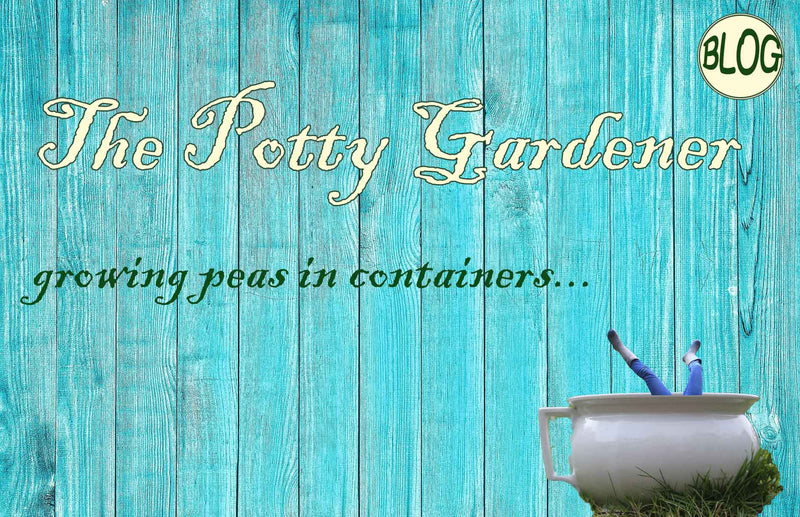 The Potty gardener growing peas in containers