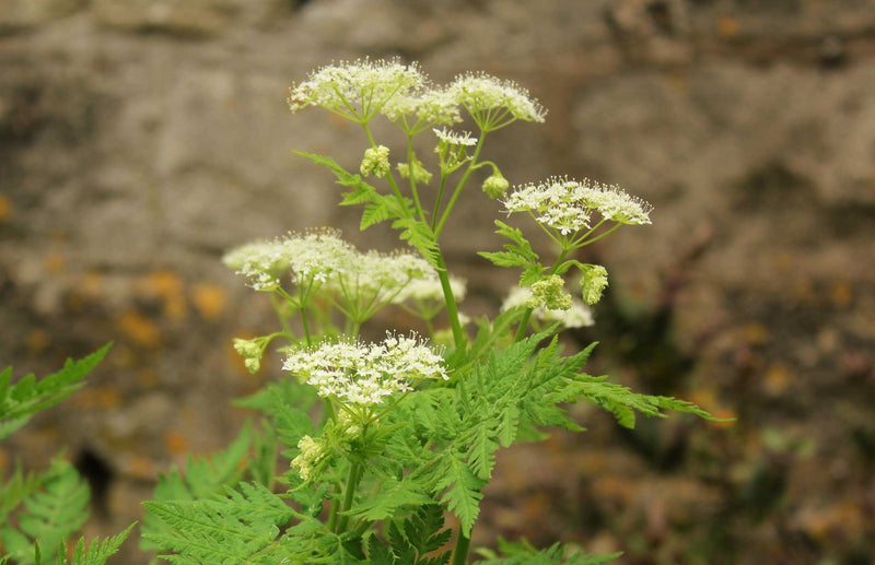 Sweet cicely herb