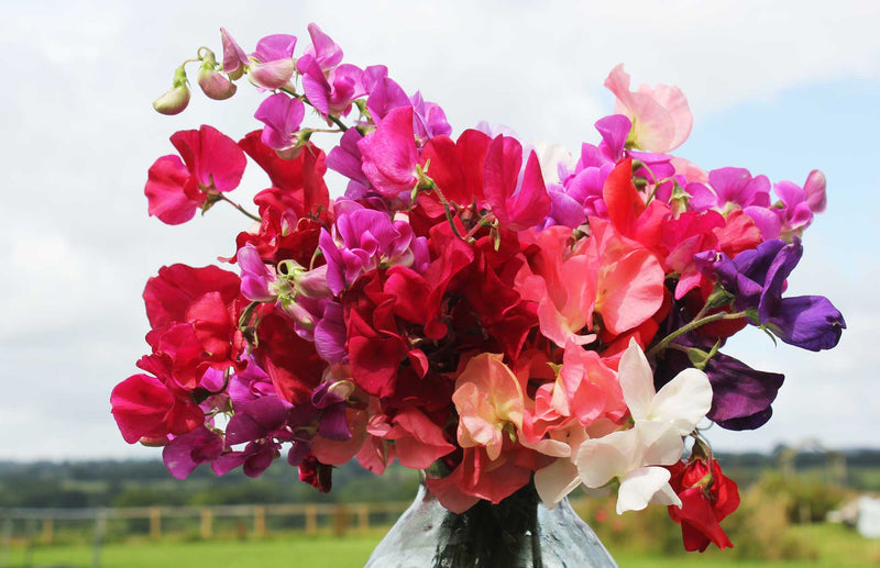 Vase of sweet peas how to grow sweet peas the best way