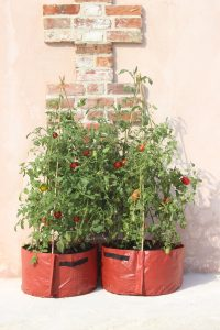 Tomatoes_growing_in_Haxnicks_3_cane_tomato_planter