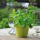 Haxnicks gardening tips and tricks how to grow basil herb the best easy way