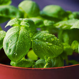 How-to-grow-basil-in-pots-containers-or-outside-the-best-way