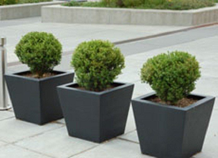 Box-hedge-plants-in-containers