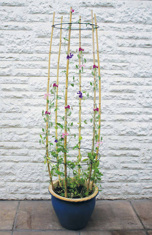 Cane-ring-plant-supports-for-sweetpeas-climbing-plants