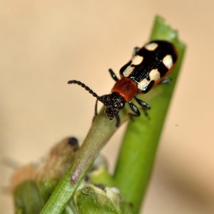 common_asparagus_beetle