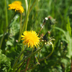 Dandelion for ground cover in winter