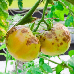 Tomato with Blight