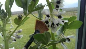 Paint brush being used to pollinate broad beans
