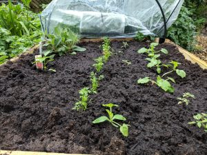 Haxnicks Raised Bed with polythene cover off and salad plants showing