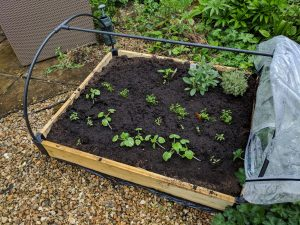Haxnicks Raised Bed with polythene cover off and slightly larger salad plants inside