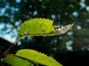 garden_photography_Leaf_shot_into_the_light