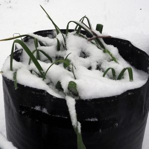 Container_Leeks_in_snow