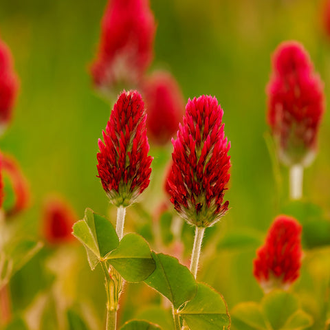 red clover green manure to improve soil