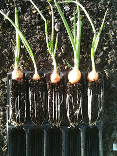 Growing Onions using Haxnicks Rootrainers