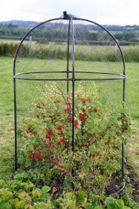 currants_in_Haxnicks_round_fruit_cage