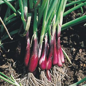Spring_onion_bunch_red_bulbs