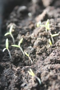 First signs of Spring plants growing from Seeds in Haxnicks Rootrainers in busy february