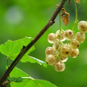 white_currants_hanging_on_bush