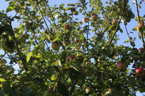 Apple Trees in the sun by Haxnicks' Potty Gardener
