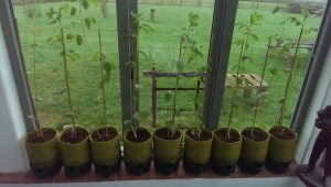 Broad Beans growing in Haxnicks Vigoroot Pots
