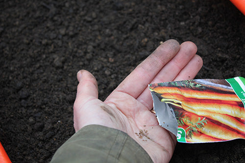 Carrot Seeds in Seed Compost from Haxnicks