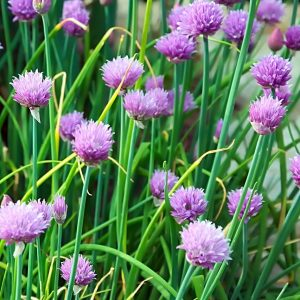 Chives_flowers_on_plants