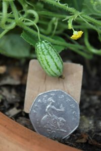 cucamelons_50p