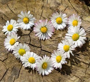 daisies_on_wood_in_heart_shape