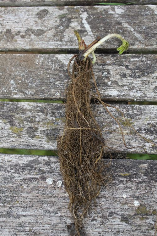 Elsanta bare rooted strawberry plant