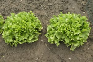 endive_curly_2_plants