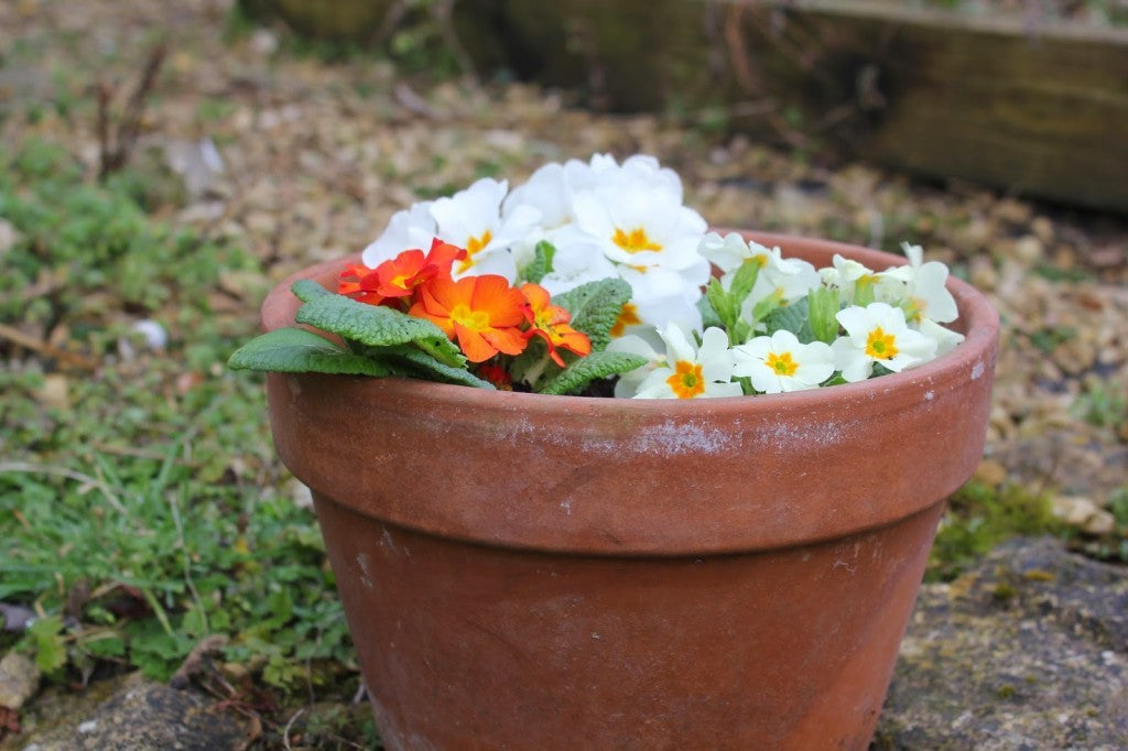 Primulas_in_teracotta_pot_after _thinning carrots
