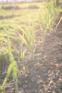 rows_of_garlic_growing