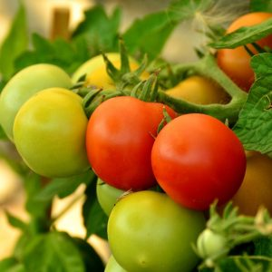 ripening_tomatoes_green_red_tomatoes_on_plant