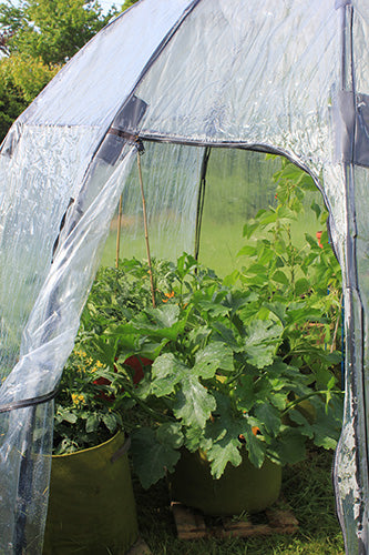 Growing Zucchini Courgettes in Haxnicks' Sunbubble