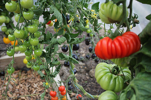Growing Fancy Tomatoes with Haxnicks Products