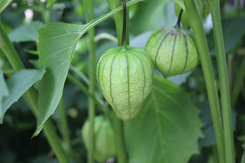 Growing Healthy Tomatillos in your Garden with Haxnicks