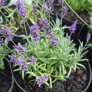 Lavender_in_pot_in_flower