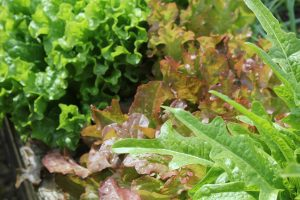Mixed_salad_leaves