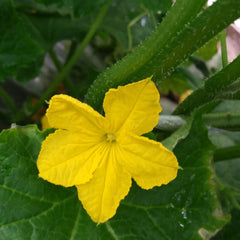 Loofah plant with flower