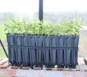 Maxi Rootrainers with tree saplings growing.