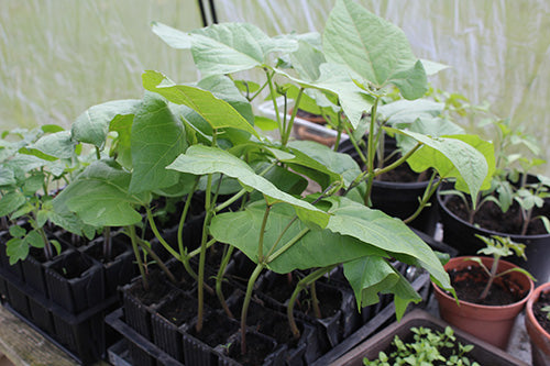 Haxnicks Rootrainers used in Growing Beans early