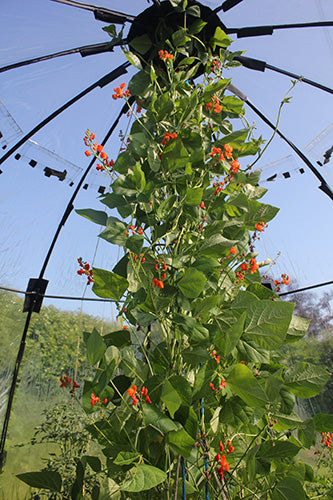 Growing Runner Beans in Haxnicks Sunbubble