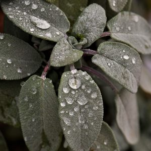 sage_leaves_with_water_droplets