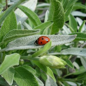 sage_plant_with_ladybird