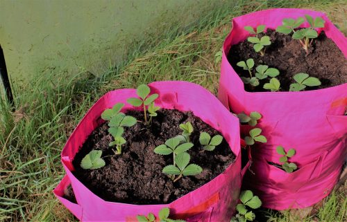 Strawberry Patio Planters from Haxnicks, offering the best and healthiest way to grow Strawberries