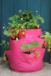 Haxnicks Strawberry Planter