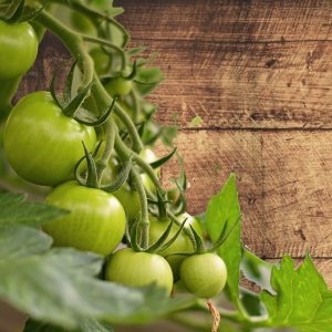 hanging_tomatoes_in_shed