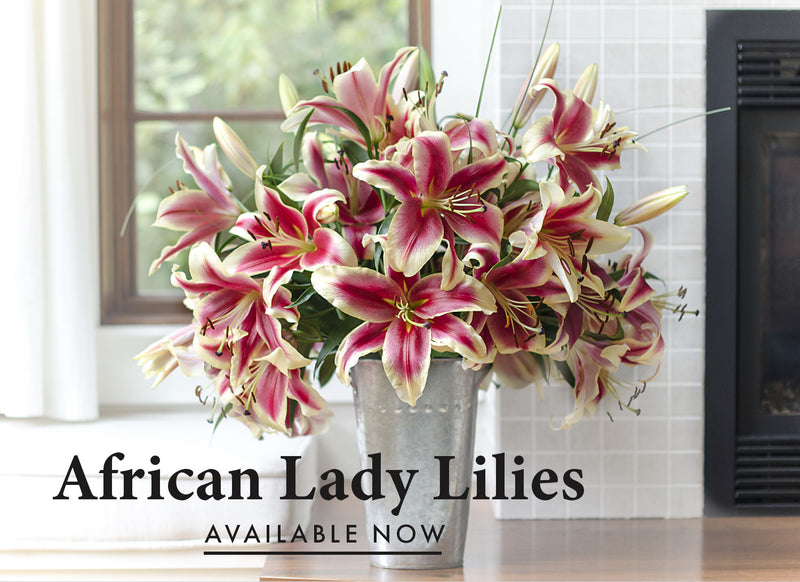 African Lady is a superstar Oriental Trumpet Lily. African Lady has a powerful presence because of her luminous, deep red petals with yellow edges and astounding size.